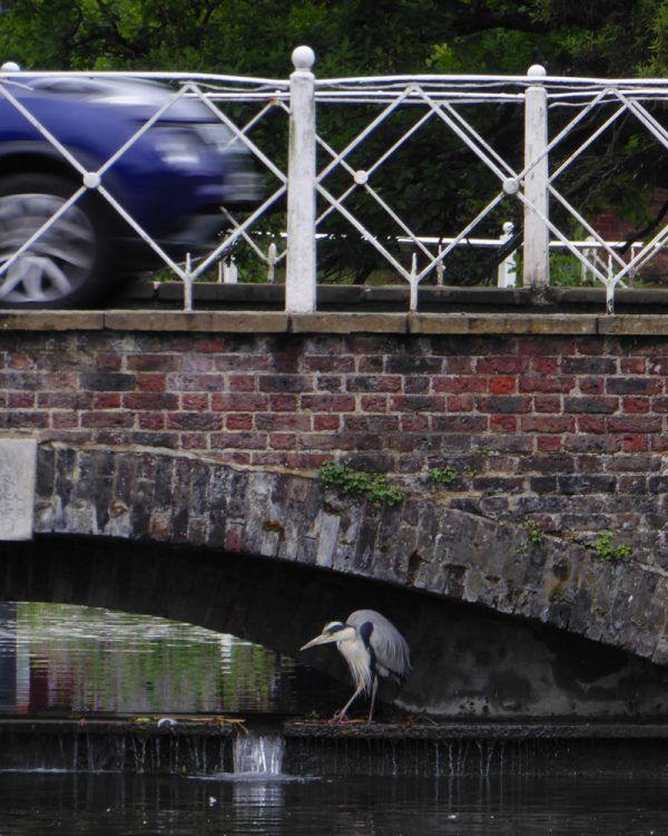 Heron under the bridge