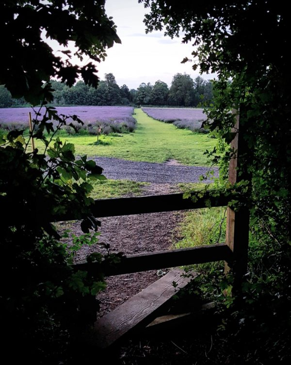 Lavender Fields Stile